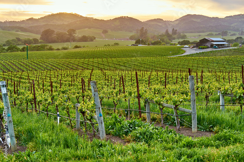 Foto op Canvas Verenigde Staten Vineyards at sunset in California, USA