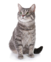 Portrait Of Gray Tabby Cat On ...