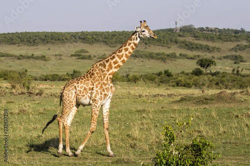 Tuinposter Giraffe Big male giraffe in the Masai Mara National Park in Kenya