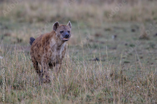Hyena running in the Masai Mara National Park in Kenya