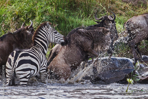 Deurstickers Zebra Zebra and wildebeast crossing a river in the Masai Mara National Park in Kenya