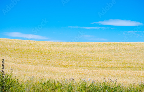 Green grass, yellow wheat field and blue sky background