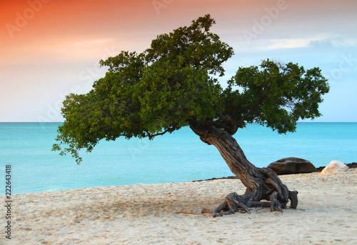 Photo  Aruba Divi Divi