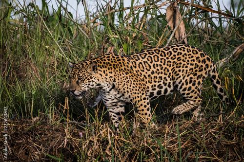 Fotografija  jaguar