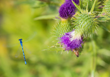 Young Dragonfly And Bee On Purple Thistle Flower