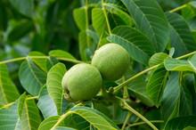 Walnuts In The Tree.