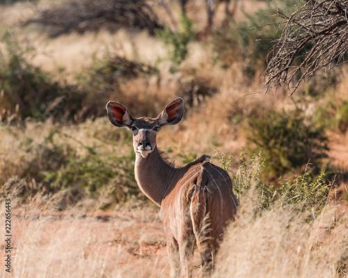 Antilope im Busch