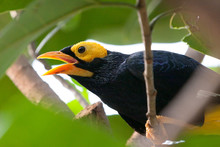 Yellow Faced Myna Colorful Bir...