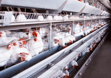 Poultry Farm For Breeding Chic...