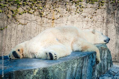 Deurstickers Ijsbeer Polar Bear sleeping on rock