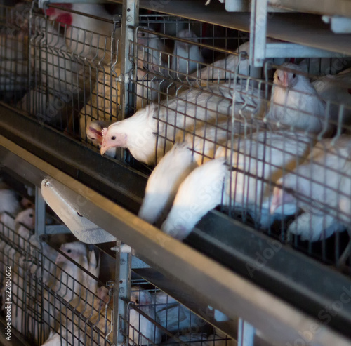 Photo  Breeding broiler chickens and chickens, broiler chickens sit behind bars in the