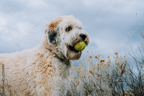 Fotografie, Obraz  Fluffy Dog Standing with Ball in Mouth