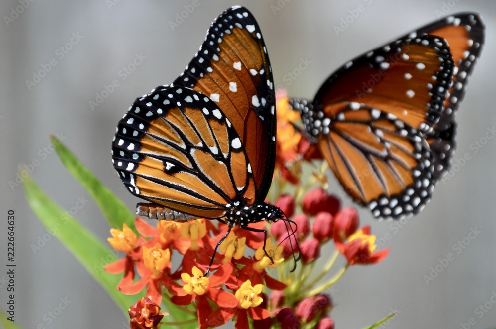 Male and female queen butterflies on tropical milkweed plant