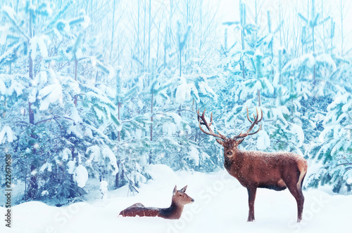 Noble deer male and female in a snowy winter blue forest. Artistic christmas fantasy image in blue and white color.