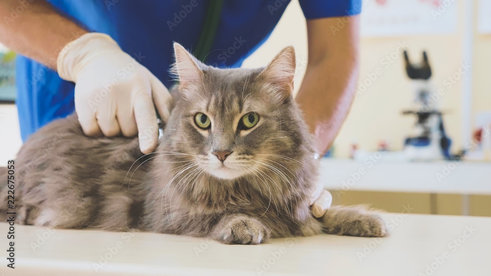 Portrait of a grey cat at veterinary clinic.