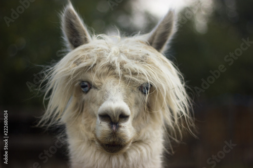 Tuinposter Lama muzzle of white llama alpaca with bangs