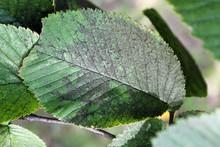 Sooty Mold On Green Leaf Of Ulmus Glabra Or Wych Elm