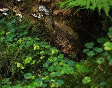 Clover And  Lichen Growing An Old Stump In The Forest