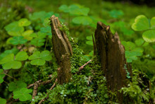Clover And  Lichen Growing An Old Stump