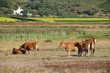 Jersey Cow, U.K. A Herd Of Ca...