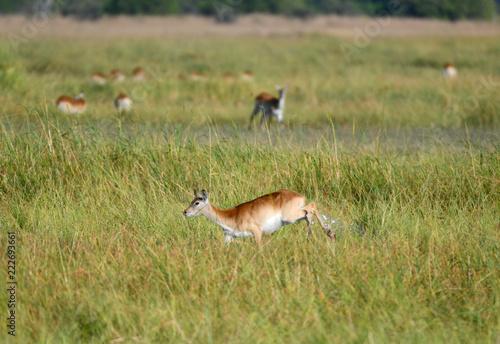 Lechwe Antilope