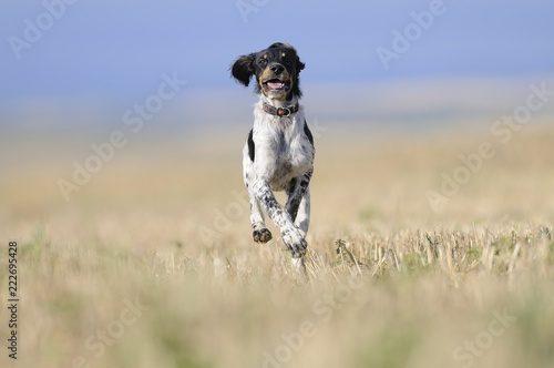 Small Munsterlander Pointer running