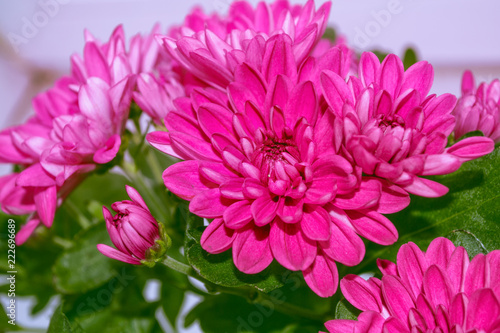 Spoed Foto op Canvas Roze Colorful chrysanthemum flowers on a background of the autumn landscape