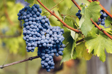 Bunch Of Nebbiolo Grape In The...