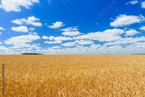 In de dag Cultuur Field of the ripe yellow wheat under blue sky and clouds