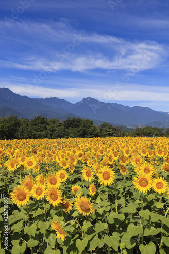 Tuinposter Platteland Sunflower field in full bloom - August of Japan -