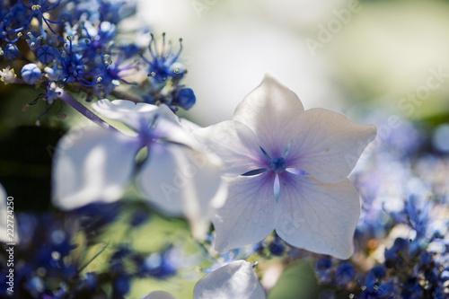 Macro Hydrangea