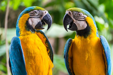 Two Blue & Yellow Parrots Facing Each Other