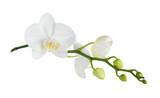 Fototapeta Storczyk - Moth orchid on white