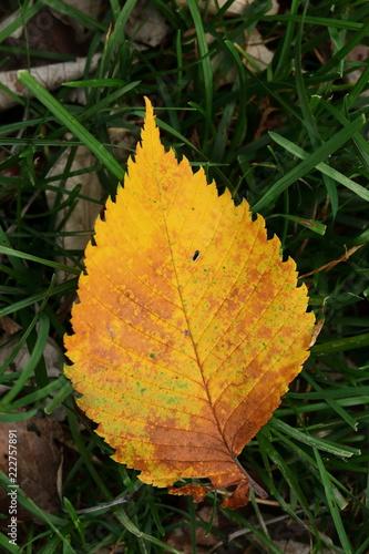 Fotografie, Obraz  Blatt - Laub - Herbstlaub in gelb