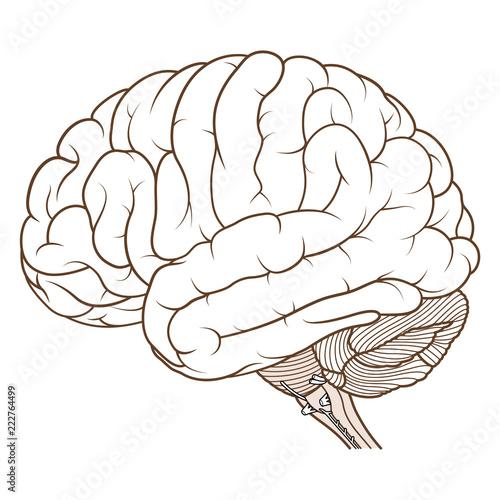 Vector Illustration ,Flat coloured Brainstem of Human brain anatomy side  view on white background Vetor do Stock   Adobe Stock