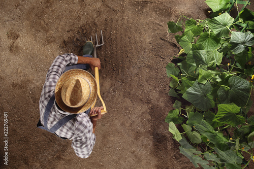 Cuadros en Lienzo man farmer working with pitchfork in vegetable garden, dig the soil near a cucum
