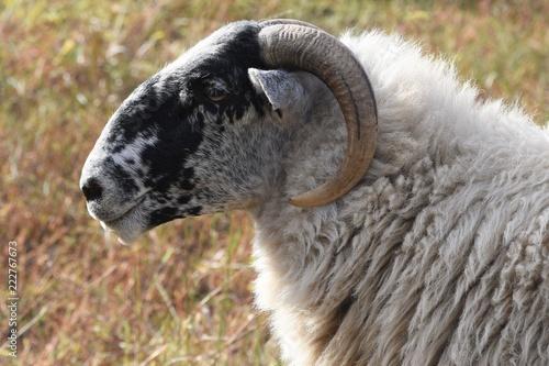 Portrait of a Scottish blackface sheep, Canvas Print