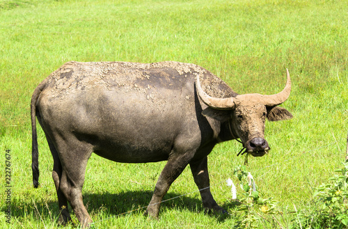 Tuinposter Buffel thai buffalo eating grass in a field