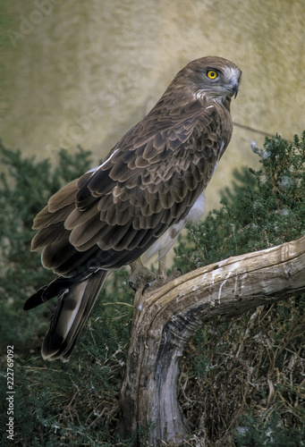 Circaète Jean le Blanc,.Circaetus gallicus, Short toed ,Snake Eagle