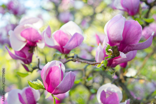 Deurstickers Magnolia Magnolia pink blossom tree flowers, close up branch, spring time.