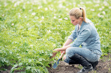 Woman Farm Worker Caring For The Growing Crop