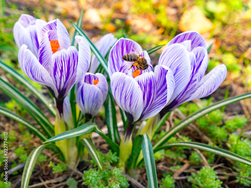 Foto op Canvas Krokussen Beautiful first spring flowers crocuses bloom under bright sunlight.