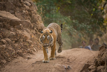 A Dominant Male Tiger Of Touri...