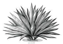 Agave Hand Draw Vintage Engraving Clip Art Isolated On White Background