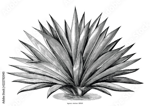 Photo Agave hand draw vintage engraving clip art isolated on white background
