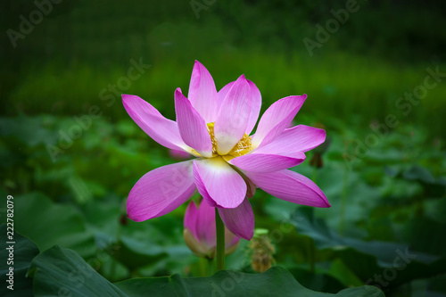 Foto op Canvas Lotusbloem Close-up shot of lotus or water lily flower in pond