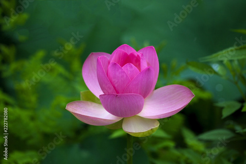 Staande foto Lotusbloem Close-up shot of lotus or water lily flower in pond