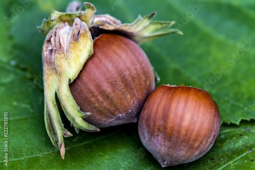 Obraz Closeup of two hazelnuts (Corylus avellana) on a leaf. - fototapety do salonu