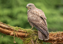Common Buzzard In Natural Environment