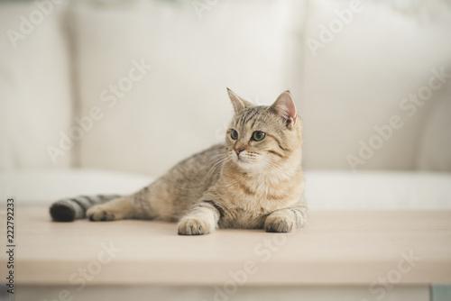 Obraz Cute cat lying on wooden table in living room - fototapety do salonu